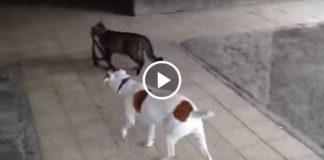 Кот выгуливает собаку и приводит ее домой!