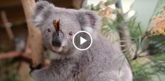 Очень милое видео: коала и бабочка