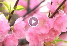 Весна и нежность... Удивительная мелодия, проникающая в самое сердце!