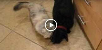 Как персидский кот кормит печеньем своего друга-собаку...