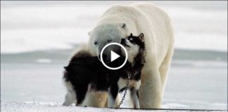 Белые медведи и собаки. Удивительно трогательная дружба! Как такое возможно?
